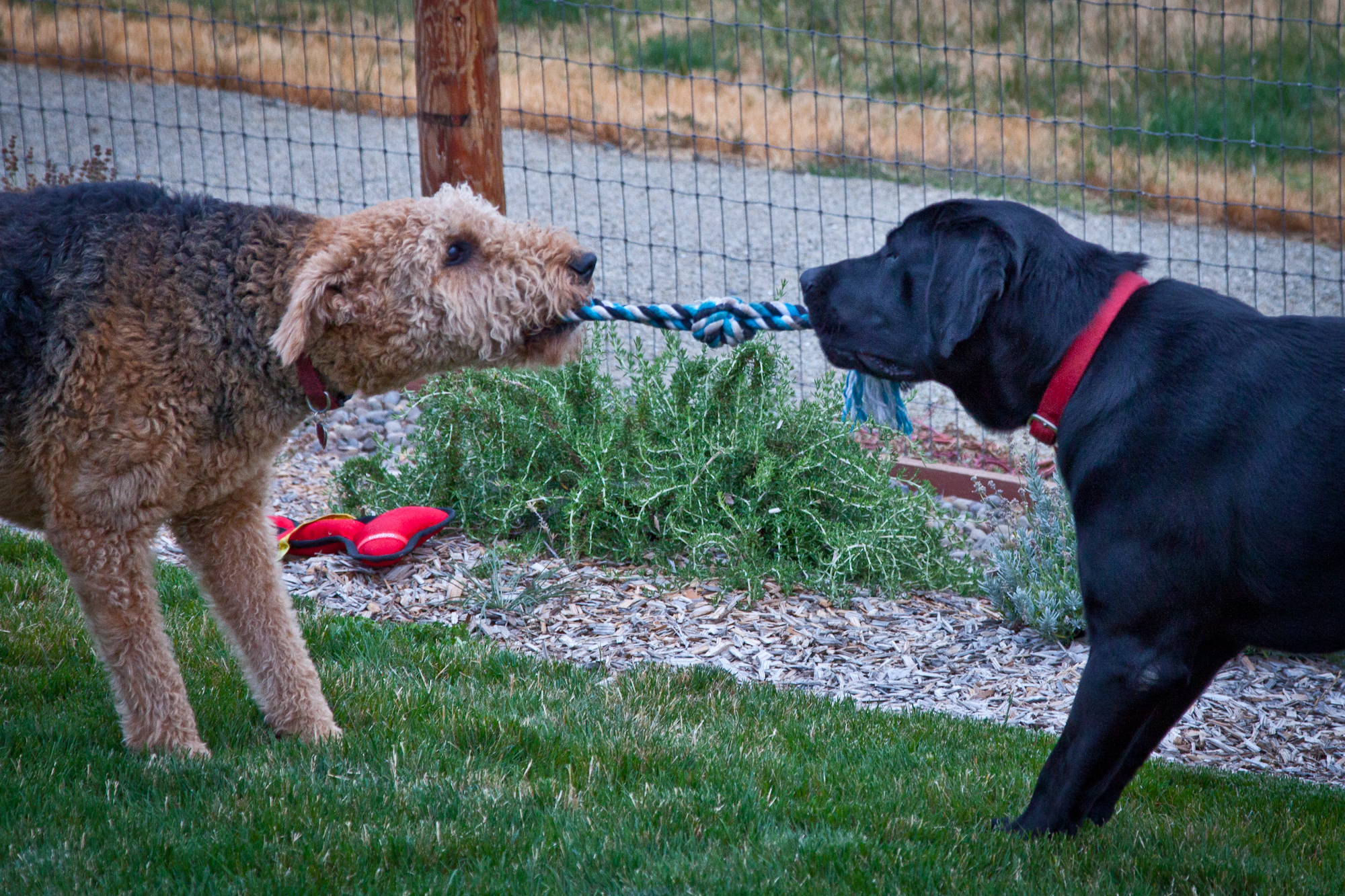 Our new friend Taiko (Black Lab) learns to play with Shasta.  Taiko was rescued from an Animal Shelter - and is an absolutely wonderful dog.