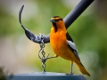 Oriole at feeder outside the kitchen window.