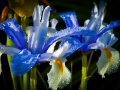 Irises after a spring storm.